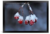 Snowy Rosehip, Framed Print