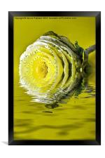 Ripple Cabbage Rose, Framed Print