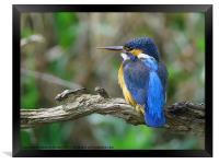 Female Kingfisher on perch, Framed Print