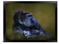 Silverback Gorilla, Framed Print