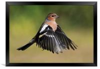 Chaffinch in flight, Framed Print