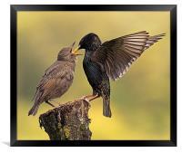 Starlings, Framed Print