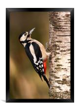 Great spotted woodpecker, Framed Print