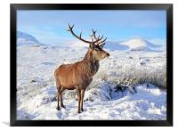 Deer Stag in snow, Framed Print