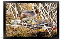 Nesting Crested Grebe, Framed Print