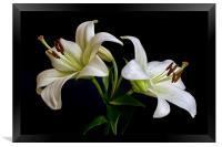 White Lilies, Framed Print