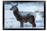 Red Deer Hind In The Snow, Framed Print