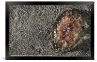 Pelagia Noctiluca or Mauve Stinger, Framed Print