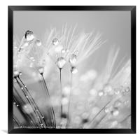 Dandelion Seed with Water Droplets in Black and Wh, Framed Print