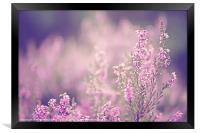 Dreamy Pink Heather, Framed Print