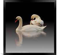 Beautiful Swans, Framed Print