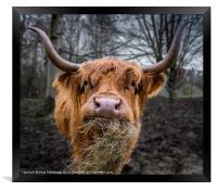 Highland Cow, Framed Print