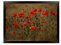 the irresistible attraction of poppies, Framed Print