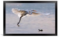 egret hovering in the air, Framed Print