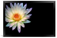 Waterlily, Framed Print
