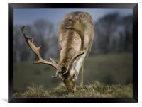 Fallow Deer, Framed Print