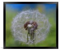 Dandelion, Framed Print