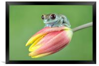 Ruby Eye tree frog, Framed Print