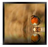 Robin red Breast (Erithacus rubecula), Framed Print