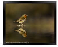 Reflecting Robin (Erithacus rubecula), Framed Print