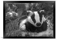 Black & white Badger Mustelidae, Framed Print