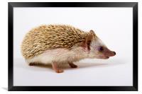 Pygmy Hedgehog, Framed Print