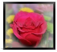 lovely red rose, Framed Print