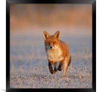 Fox Close Up, Framed Print