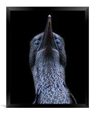 Northern gannet (morus bassanus), Framed Print