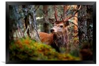 Stag in the woods, Framed Print