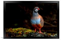Red-legged Partridge, Framed Print