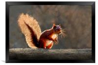 Red squirrel, Framed Print