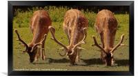 Stag Fallow Deer., Framed Print
