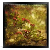 Pink Hawthorn in Flower, Framed Print