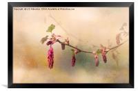 Ribes Sanguinium, Framed Print