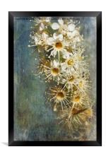 Cherry Laurel Flowers, Framed Print