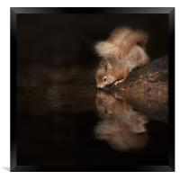 Red Squirrel Reflection, Framed Print