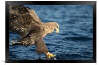 White-tailed Eagle Hunting, Framed Print
