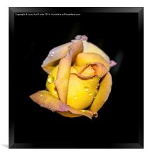 Rosebud and Dew, Framed Print