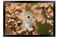 Harvest mouse in dry leaves, Framed Print