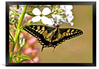 Swallowtail Butterfly , Framed Print