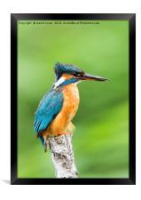 Female Kingfisher, Framed Print