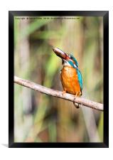 Kingfisher With His Fish, Framed Print