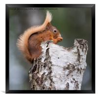 Red Squirrel in Tree, Framed Print