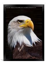 Bald Eagle 2, Framed Print