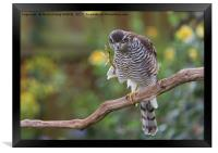 Sparrowhawk Having a Scratch, Framed Print