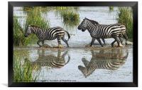 Zebra Crossing Kenya, Framed Print