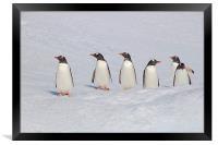 Gentoo Penguins in Conference, Framed Print