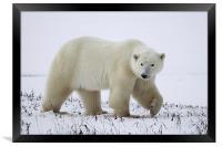 Large Prowling Polar Bear, Framed Print