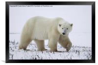 Polar Bear, Churchill, Canada, Framed Print